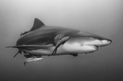 Photo: dd001891     Lemon shark, Negaprion brevirostris, Tiger Beach, Atlantic, Bahamas