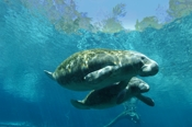 Photo: dd000815     West Indian Manatee , Trichechus manatus,  Crystal River, Florida, USA