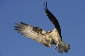Photo: dd001008Osprey, Pandion haliaetus, Blue Cypress Lake, Florida, USA