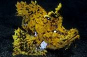 Photo: dd001020Weedy scorpionfish, Rhinopias frondosa, Lembeh Strait, Indopacific, Indonesia