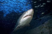 Photo: dd001070     Sandtiger shark , Carcharias taurus,  Cape Lookout, Atlantic, North Carolina, USA