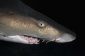 Photo: dd001072     Sandtiger shark , Carcharias taurus,  Cape Lookout, Atlantic, North Carolina, USA