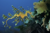 Photo: dd001103     Leafy sea dragon , Phycodurus eques,  Kangaroo Island, Pacific, South Australia
