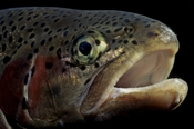 Photo: dd001266     Rainbow trout , Oncorhynchus mykiss,  Bavaria, Germany