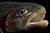 Photo: dd001266Rainbow trout, Oncorhynchus mykiss, Bavaria, Germany