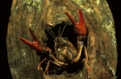 Photo: dd001284     Noble crayfish , Astacus astacus,  Bavaria, Germany
