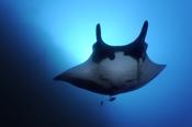 Photo: dd001376Manta ray, Manta birostris, San Benedicto, Revillagigedo Socorro Island, Pacific, Mexico