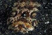 Photo: dd001477Marbled stargazer, Uranoscopidae, Lembeh Strait, Indopacific, Indonesia