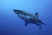 Photo: dd001545     Great White Shark , Carcharodon carcharias,  Isla Guadalupe, Pacific, Mexico