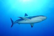 Photo: dd001699     Blacktip Shark , Carcharhinus limbatus,  Bahamas, Atlantic