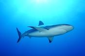 Photo: dd001699Blacktip Shark, Carcharhinus limbatus, Bahamas, Atlantic