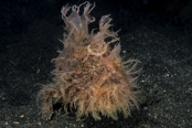 Photo: dd001295     Shaggy anglerfish , Antennarius hispidus,  Lembeh Strait, Indopacific, Indonesia