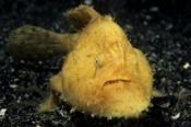 Photo: dd001300Anglerfish, Antennarius Commerson, Lembeh Strait, Indopacific, Indonesia
