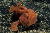 Photo: dd001303Painted anglerfish, Antennarius pictus, Lembeh Strait, Indopacific, Indonesia