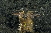 Photo: dd011060Bobbit worm , Eunice aphroditois,  Lembeh Strait, Indopacific, Indonesia
