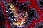 Photo: dd001815Harlequin shrimp, Hymenocera elegans, Bali, Indopacific, Indonesia