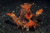 Photo: dd001336     Demon stinger , Inimicus didactylus,  Lembeh Strait, Indopacific, Indonesia