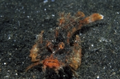 Photo: dd001366     Demon stinger , Inimicus didactylus,  Lembeh Strait, Indopacific, Indonesia