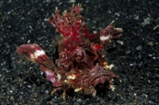 Photo: dd001368     Demon stinger , Inimicus didactylus,  Lembeh Strait, Indopacific, Indonesia
