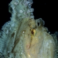 Photo: dd001423     Leaf Scorpion fish , Taenianotus triacanthus,  Mabul, Celebes Sea, Malaysia