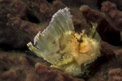 Photo: dd011096     Leaf Scorpion fish , Taenianotus triacanthus,  Lembeh Strait, Indopacific, Indonesia