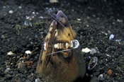 Photo: dd001361Black-finned snake eel with Shrimp, Ophichtus melanochir, Periclimenes magnificus, Lembeh Strait, Indopacific, Indonesia