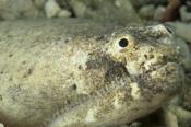 Photo: dd001413Stargazer snake eel, Brachysomophis Cirrocheilos, Mabul, Celebes Sea, Malaysia