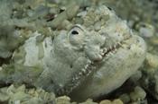 Photo: dd001462Crokodile snake eel , Brachysomophis crocodilinus,  Sabang, Mindoro, Sulu Sea, Philippines
