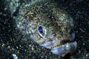 Photo: dd001475     Crocodile snake eel, Brachysomophis crocodilinus, Sabang, Mindoro, Sulu Sea, Philippines