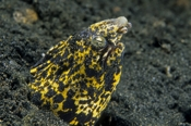 Photo: dd011017     Marbled snake eel , Callechelys Marmorata,  Lembeh Strait, Indopacific, Indonesia