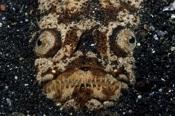 Photo: dd001434Marbled stargazer, Uranoscopidae, Lembeh Strait, Indopacific, Indonesia