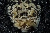 Photo: dd001476Marbled stargazer, Uranoscopidae, Lembeh Strait, Indopacific, Indonesia