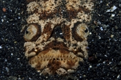 Photo: dd001478Marbled stargazer, Uranoscopidae, Lembeh Strait, Indopacific, Indonesia