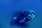 Photo: dd001004Southern right whale, Eubalaena australis, Peninsula Valdes,  Atlantic, Patagonia, Argentina