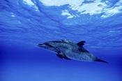 Photo: dd001552Atlantic spotted dolphin, Stenella frontalis, Little Bahama Bank, Atlantic, Bahamas