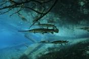 Photo: dd001182Garfish, Lepisosteus osseus, Rainbow River, Florida, USA