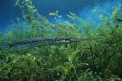Photo: dd001186Garfish, Lepisosteus osseus, Rainbow River, Florida, USA