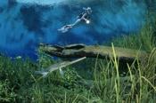 Photo: dd001189Garfish and Diver, Lepisosteus osseus, Rainbow River, Florida, USA