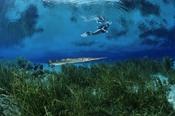 Photo: dd001191Garfish and Diver, Lepisosteus osseus, Rainbow River, Florida, USA