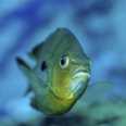 Photo: dd001196Pumpkinseed sunfish, Lepomis gibbosus, Ginnie Springs, Florida, USA