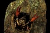 Photo: dd001261Noble crayfish, Astacus astacus, Bavaria, Germany
