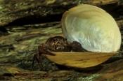 Photo: dd001262Noble crayfish, Astacus astacus, Bavaria, Germany