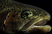 Photo: dd001267     Rainbow trout , Oncorhynchus mykiss,  Bavaria, Germany