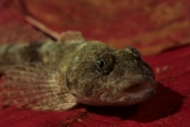 Photo: dd001272     Bullhead , Cottus gobio,  Bavaria, Germany