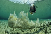 Photo: dd001278     white algae and Diver , caulerpa,  Austria