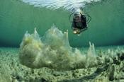 Photo: dd001278white algae and Diver, caulerpa, Austria