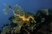 Photo: dd001102     Leafy sea dragon , Phycodurus eques,  Kangaroo Island, Pacific, South Australia