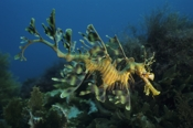 Photo: dd001106     Leafy sea dragon , Phycodurus eques,  Kangaroo Island, Pacific, South Australia