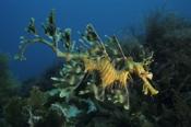 Photo: dd001106Leafy sea dragon, Phycodurus eques, Kangaroo Island, Pacific, South Australia