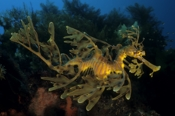 Photo: dd001110     Leafy sea dragon , Phycodurus eques,  Kangaroo Island, Pacific, South Australia
